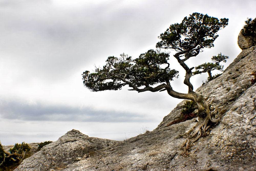 дерево растущее в камне фото
