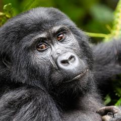 Горная горилла, Уганда