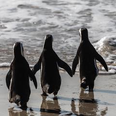 Пингвинячья дружба)