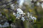 чорні черешні білого цвіту