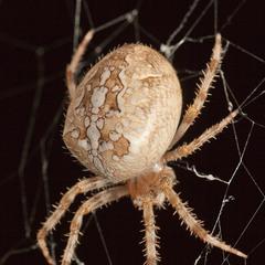 Такий собі павучок колопряд