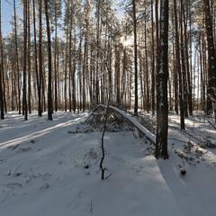 Зима у сосновому лісі
