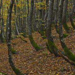 """Хом""""яцький ліс"""