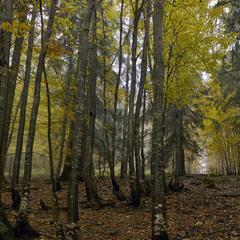 """Хом""""яцький ліс - 2"""