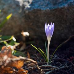 Весна прийшла за вікна, і перша квітка розцвіла