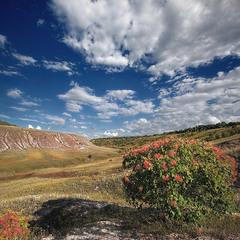 Меловая флора - Скумпия (Cotinus)