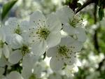 Під квітами вишні