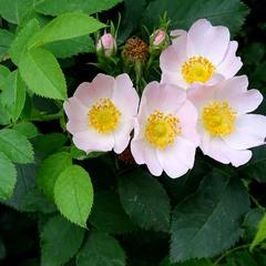Шипшина цвіте