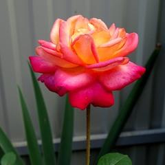 Країна троянд