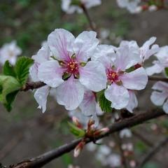 Весняний рожевий етюд