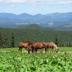 Коні і гори