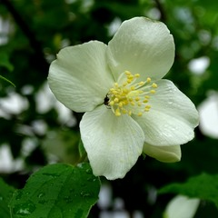 Запашна квітка