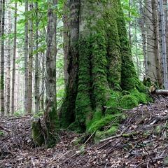Старий ліс