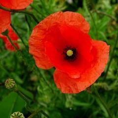 Квітка літа