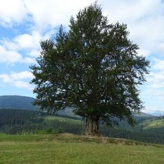 Старе самотнє дерево