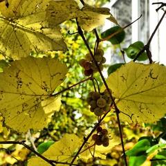 Осінній виноград