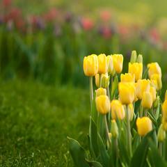 Желтые тюльпаны - ...