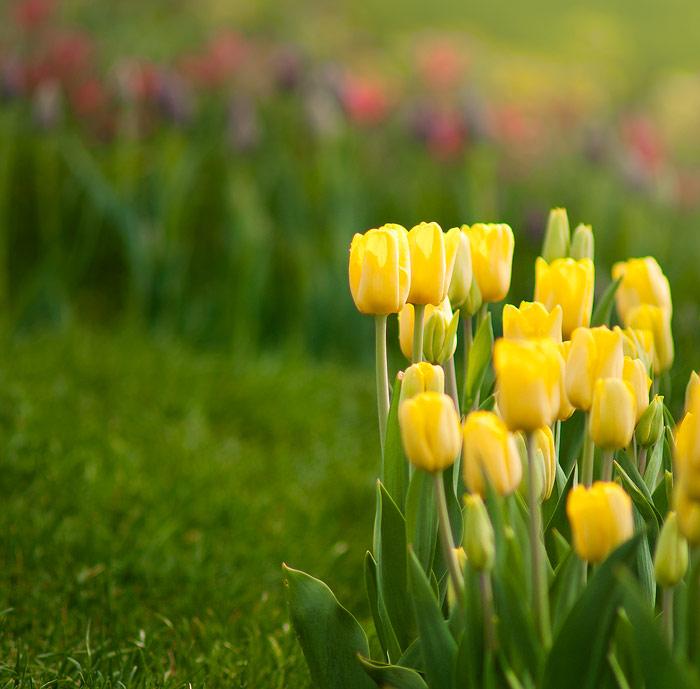 Полевые желтые тюльпаны фото