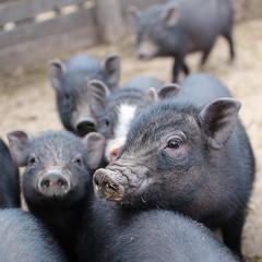 Не говори плохо о свиньях. Они намного лучше многих людей