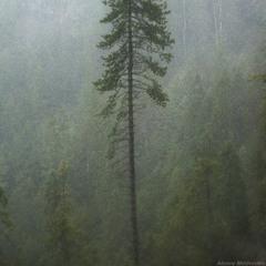 Горганський кедр