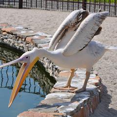 Удивлённый пеликан...