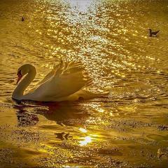 Лебединое золото.
