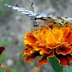 Подалирий - большая и красивая бабочка семейства парусников.