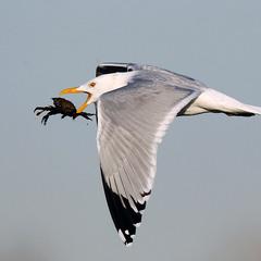 Чайка с крабом