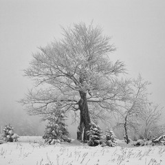 Зимовий бук