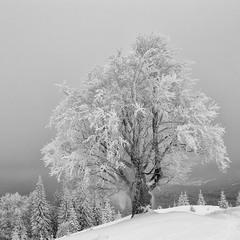 Зимовий бук (2)