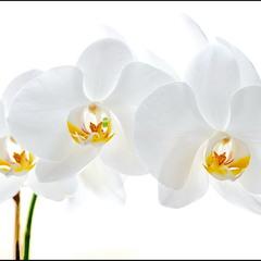 Белая орхидея в высоком ключе.