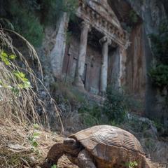 Черепаха у ликийских гробниц