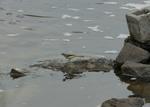 Плиска гірська | Горная трясогузка | Gray Wagtail | Motacilla cinerea