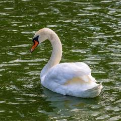 Лебідь-шипун   Mute Swan   Cygnus olor   Лебедь-шипун
