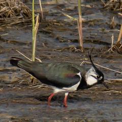 Чибис (самец) | Northern Lapwing | Vanellus vanellus | Чайка