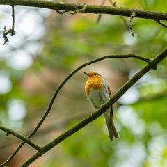 Вільшанка   Зарянка   European Robin   Erithacus rubecula