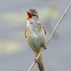 Очеретянка   Камышовка   Warbler