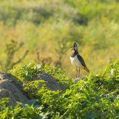 Чибис | Northern Lapwing | Vanellus vanellus | Чайка