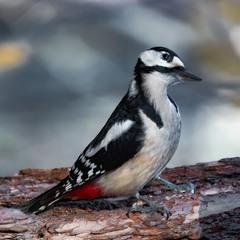 Дятел звичайний | Dendrocopos major | Great Spotted Woodpecker | Большой пестрый дятел