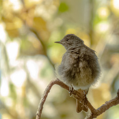 Горихвістка чорна | Phoenicurus ochruros | Горихвостка-чернушка