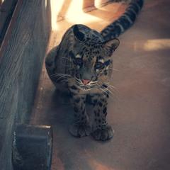 """Димчастий леопард, зоопарк """"12 місяців"""""""