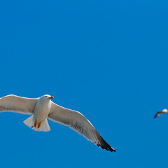 Севастопольская чайка