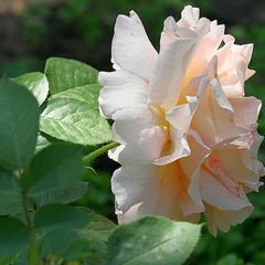 цветы  дороже всяких слов...