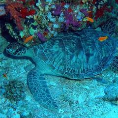 Спящая черепаха
