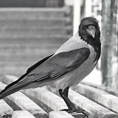 B&W Crow