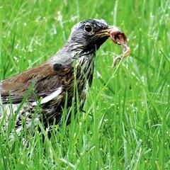 Птичка, принеси мне червячка