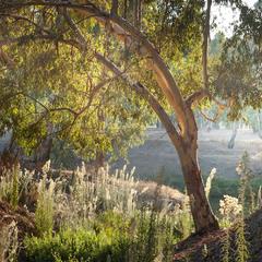 Утро в эвкалиптовой роще