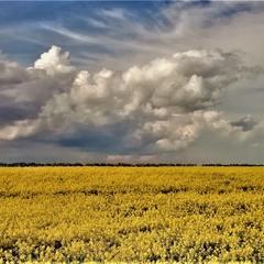 Цвіте ріпак, жовтить поля