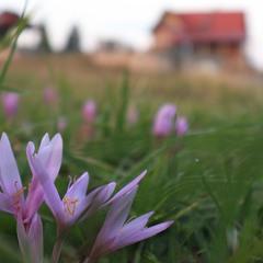 Осенние крокусы в Черногории