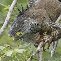 Игуана. Коста-Рика.